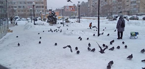 У голубей возле «Ашана» в Дубне наблюдаются симптомы гриппа